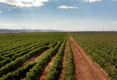Campos de jitomate rojo en Ensenada Baja California. México 2012 Foto: Lizeth Arauz