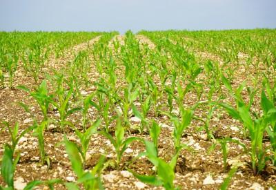 corn-1117270_1920